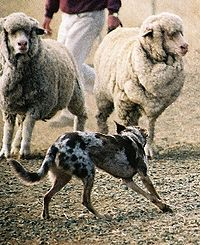 herding dog working sheep